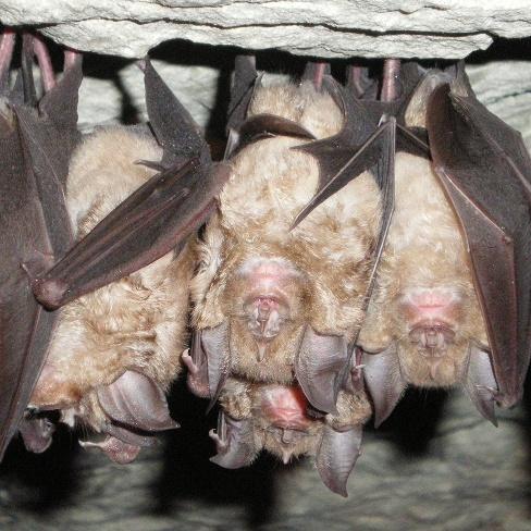 Les chauves-souris, symbole d'une biodiversité en danger