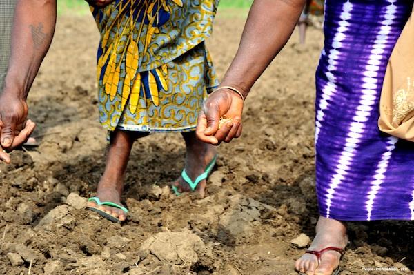 Riz du Benin, riz de demain